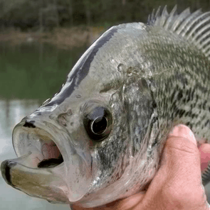 Close-up of a Crappie