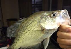 catch crappie fish