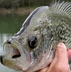 catching crappie