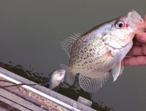 catch spring crappie