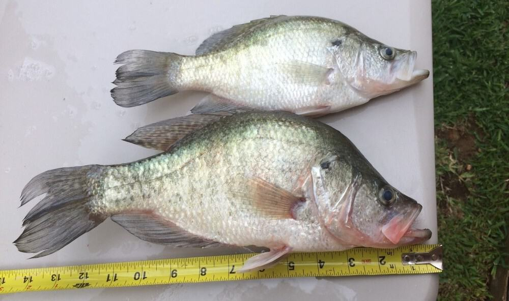 catch crappie during spawn